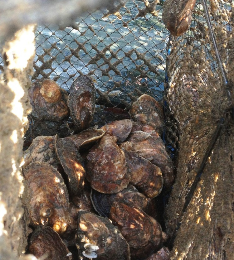 Fresh Peconic Bay Oysters in a Lantern Net